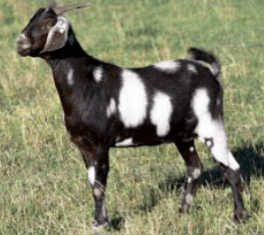 The Indigenous Goat Breeds That Contributed To Boer Goat Evolution