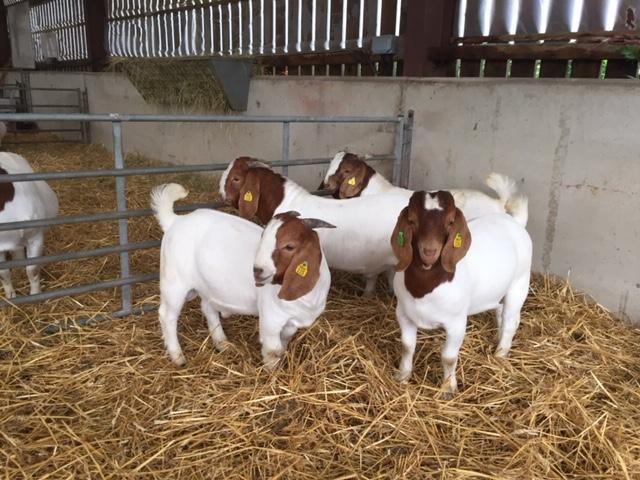 Morley Boer Goats Buck Kids