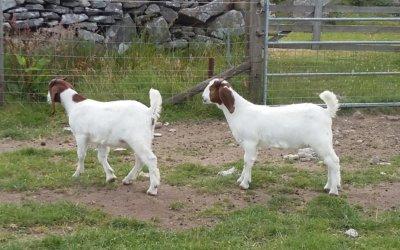 Pure boer goat doe kids