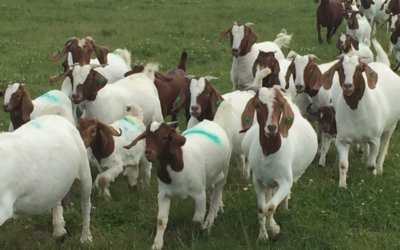 Purebred CAE accredited Boer does for sale